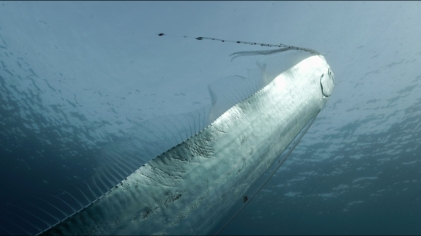 MEDITERRANEAN SEA, SOUTH OF FRANCE: Giant Oarfish swimming in a vertical position towards the surface around the oceanographic buoy « La boussole » (Photo credit: © Saint Thomas Productions / Jean-Charles Granjon)