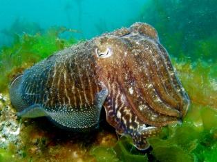 Choco sobre fondo de leituga de mar, ría de Vigo