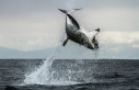 PICTURE SHOWS: A one tonne Great White Shark jumps out of the sea in South Africa at 20mph to catch a fur seal.