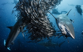 PICTURE SHOWS: Hundreds of Oceanic Blacktip sharks gather together to attack a shoal of anchovy off the coast of South Africa.