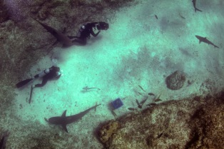 Palmyra Atoll: Tiger sharks and Divers. Dr. M. Sanjayan dives deep into the oceans to find out how the animals that live here can help save the Oceans from total collapse. (Photo Credit: Christopher Crooks)
