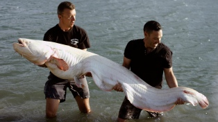 RHONE RIVER, FRANCE - Catfish Fishermen with the ultimate trophy: an albinos catfish. This is one of the largest ever caught. (Photo Credit: Saint Thomas Productions)