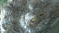 JARDINES DE LA REINA, CUBA- Close up of American Crocodile eye. (Photo credit: Shark Bay Films)