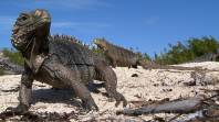 JARDINES DE LA REINA, CUBA- Cuba Iguana on the beach with two more iguanas in the back ground and a small bit of green bush. (Photo credit: Shark Bay Films)