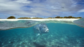 Giant Trevally patrolling the shallows of a lagoon. An atoll, Indian Ocean. These top predators gather in a shallow lagoon to predate fledgling birds as they learn to fly - even leaping out of the water to catch them as they fly overhead.