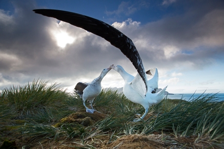 Picture shows: Wandering albatross, South Georgia. It is the largest of all seabirds. The British Antarctic Survey have been studying and monitoring populations of birds at their research station on Bird Island, South Georgia since 1957.