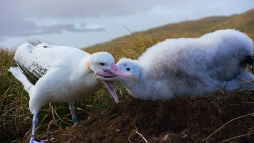 Picture shows: Wandering albatross, South Georgia. The wandering albatross is the largest seabird of all.