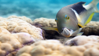 An orange-dotted tuskfish holds a clam in its formidable jaws on the Great Barrier Reef, Australia. These tuskfish are one of the few coral reef fish that use coral outcroppings as a tool. By forcefully smashing the clam on either side of the outcropping, the tuskfish is able to break apart its tough protective shell.